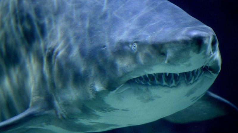 La Réunion: des restes humains retrouvés dans l'estomac d'un requin