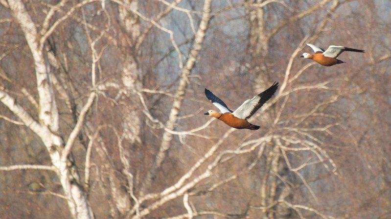 Grande Cariçaie: fort recul des oiseaux d'eau sur le lac de Neuchâtel