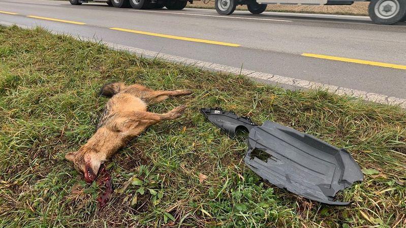 Fribourg: un chacal doré a été retrouvé mort au bord d'une route