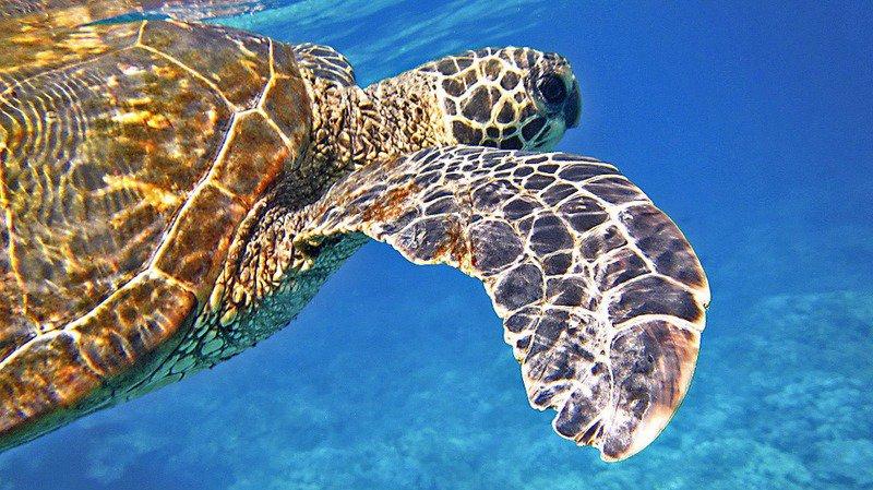 Climat: une algue prolifère et tue indirectement des centaines de tortues rares