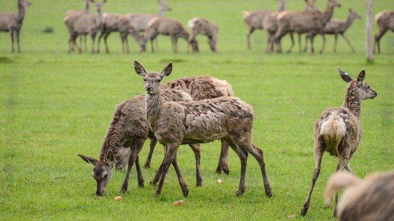 Doubs: pas de pitié pour les cerfs d'élevage fugueurs, ils seront abattus
