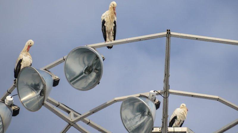 Des cigognes sur les mâts des projecteurs du stade de La Charrière, en février 2015.