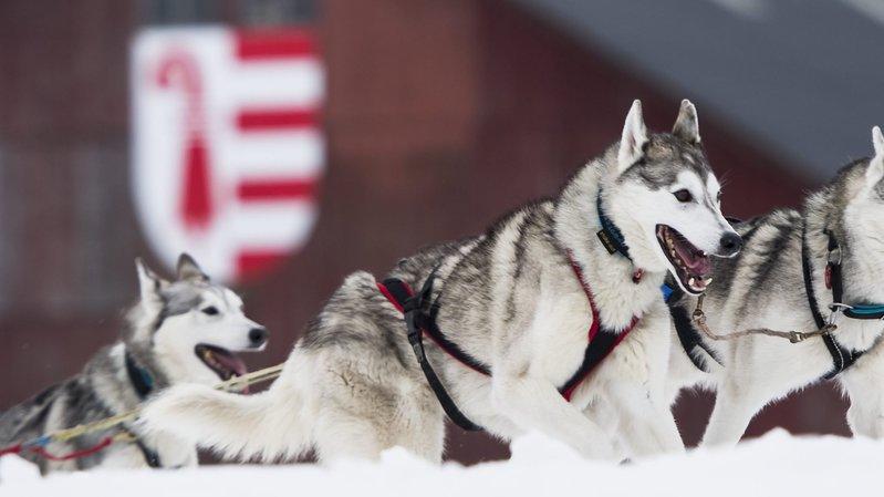 Saignelégier: les courses de chiens de traîneau sont annulées