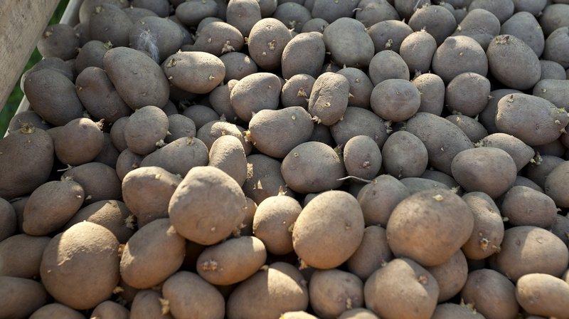 Le chlorpropham, substance la plus utilisée dans la culture des pommes de terre pour les empêcher de germer dans les supermarchés, est toxique pour la santé.