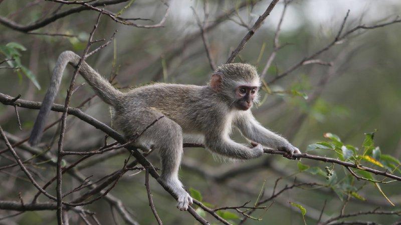L'étude a été menée sur des singes vervets en Afrique du Sud. (illustration)