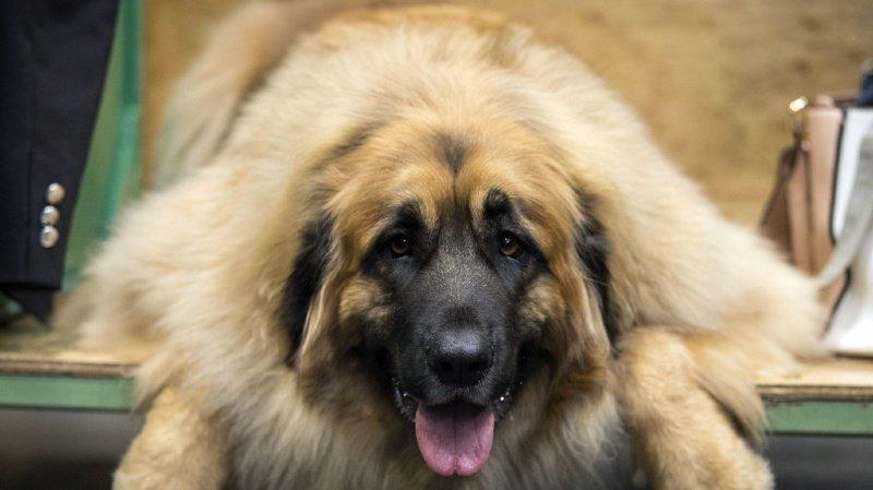 """Cette étude apporte """"la preuve que le bâillement chez les chiens, bien que contagieux, n'est pas lié à l'empathie"""". (illustration)"""