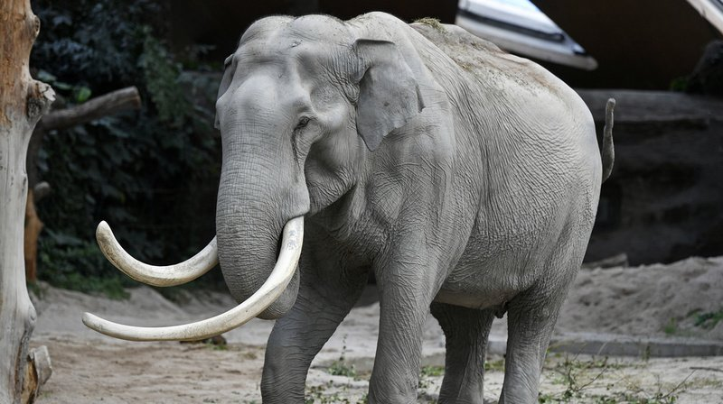 Zoo de Zurich: icône du parc, l'éléphant Maxi est décédé