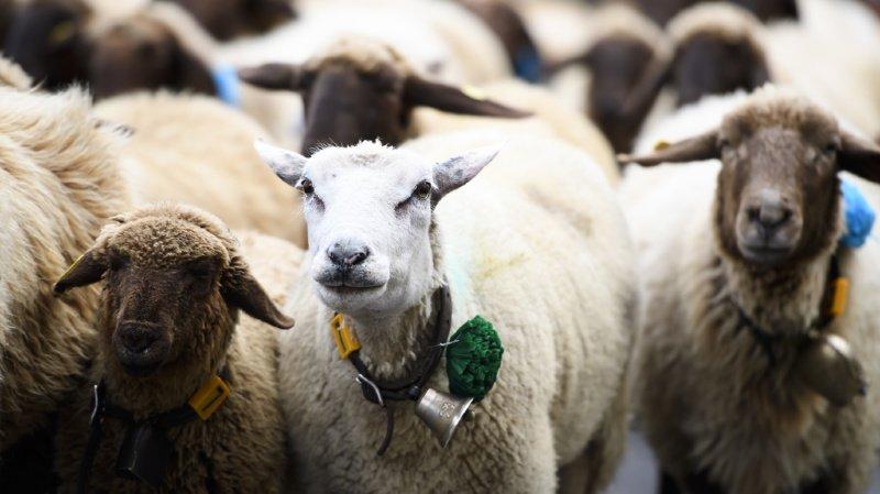 Moutons sauvés des flammes à Reclère