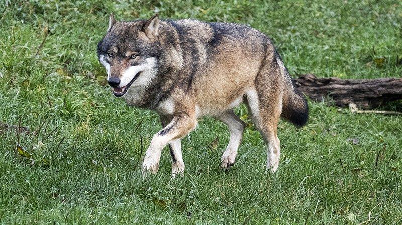 Chasse: l'administration veut resserrer la vis pour protéger les loups
