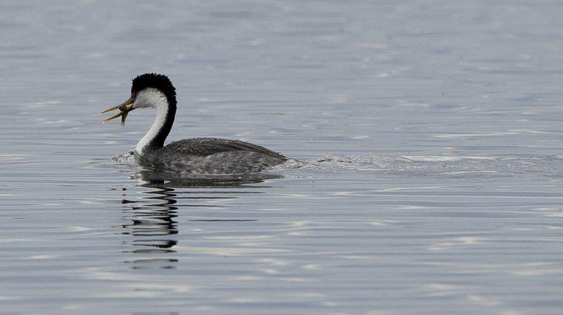 Recensement des oiseaux contrasté sur les lacs de Neuchâtel et Morat