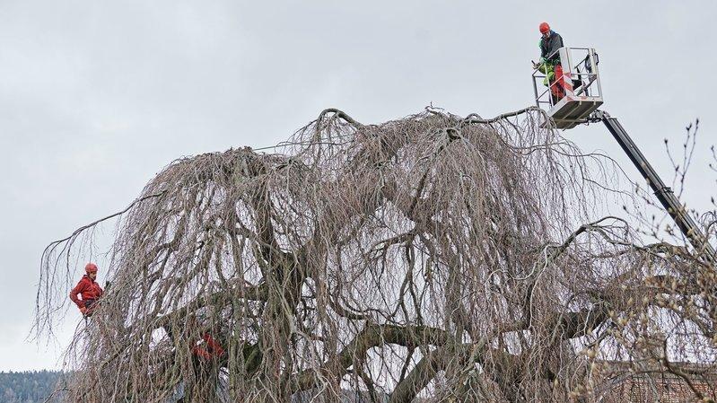 Les arboristes-grimpeurs au travail sur un hêtre pleureur, à côté du casino de Neuchâtel.