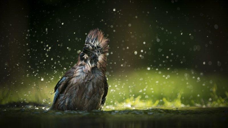 Neuchâtel: une photo d'oiseau «punk» primée au Muséum d'histoire naturelle