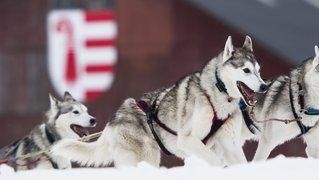 Courses de chiens de traîneaux et plan B annulés aux Franches-Montagnes