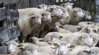 Deux douzaines demoutonsvolés au-dessus de Vevey