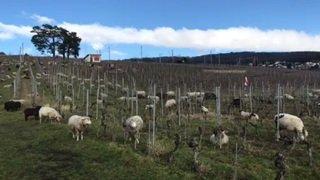 Des moutons dans les vignes neuchâteloises