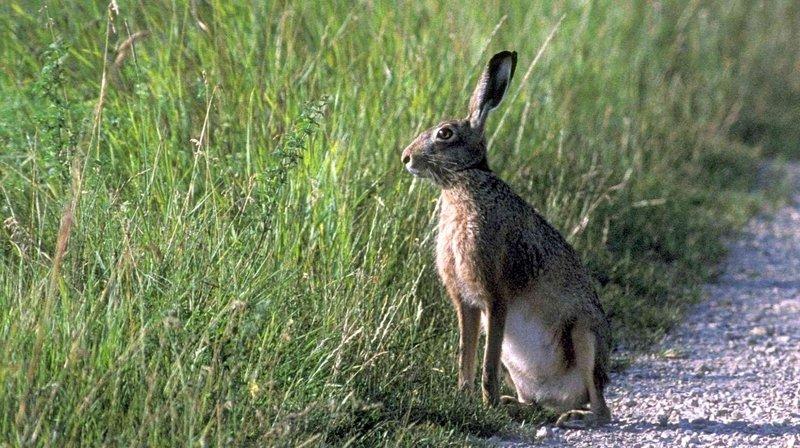 Vers une interdiction de la chasse au lièvre dans le canton de Neuchâtel