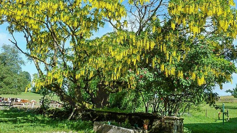 Saignelégier: l'arbre qui ne se laisse pas abattre