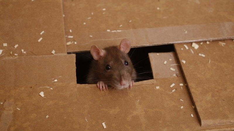Université de Neuchâtel: chez les rats, l'odeur est un «indicateur d'honnêteté»