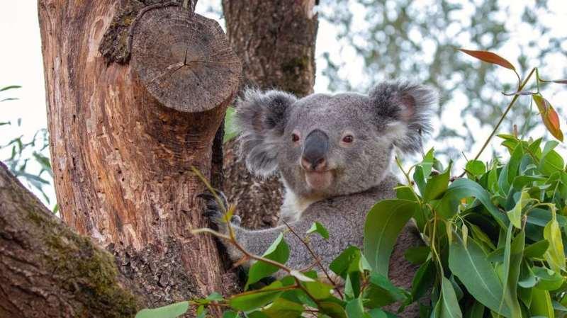 Ces derniers mois, Milo s'était accouplé avec les deux femelles de l'installation des koalas.