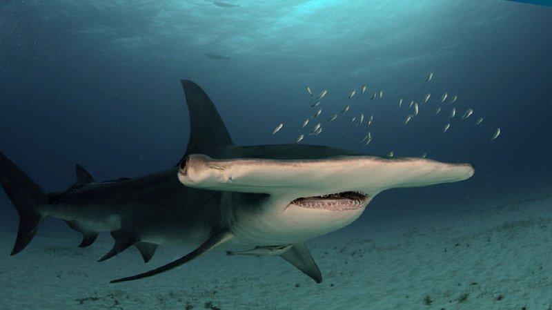 Equateur: 15 femelles requin-marteau marquées pour localiser les naissances