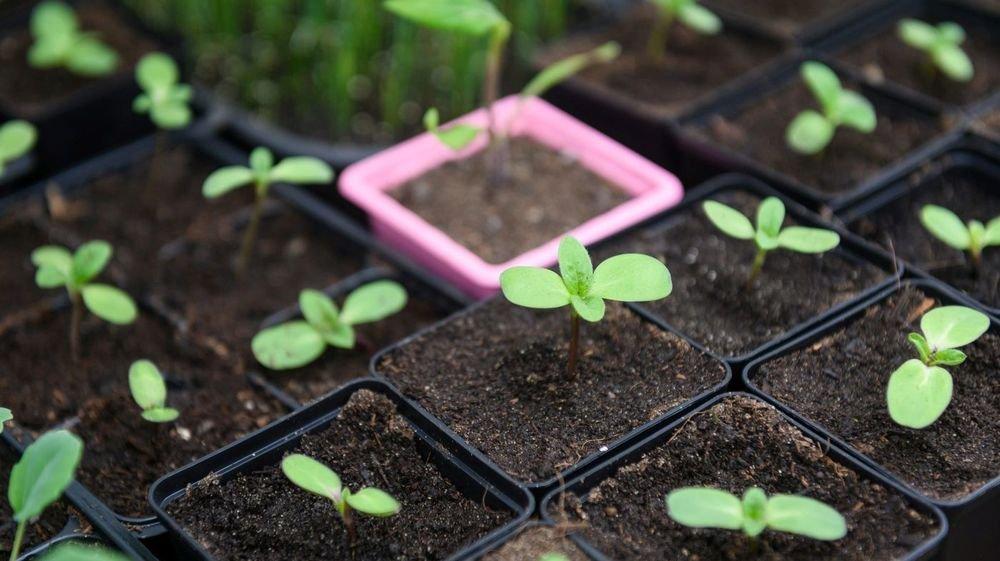 Le gouvernement neuchâtelois est aussi d'avis qu'il faut faciliter la vente de plantons.