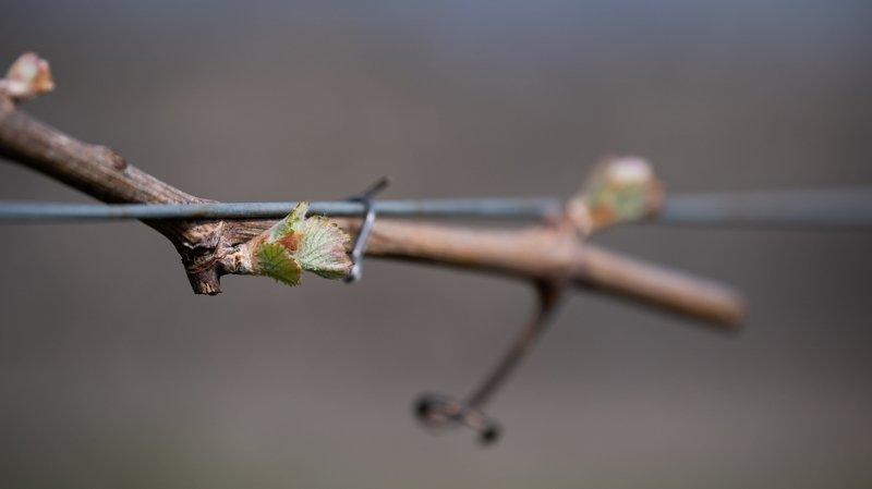 Les vignes, elles, se portent bien