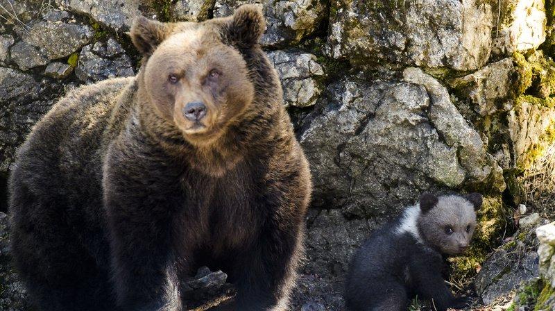 Estonie: des ours en liberté dans la capitale