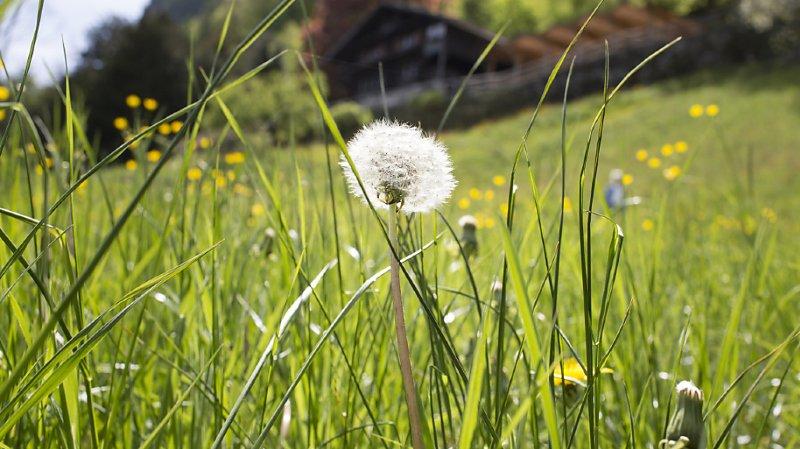 Allergies: éternuements en vue avec l'arrivée précoce des pollens de graminées