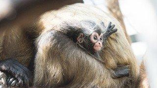 Zoo de Bâle: deux bébés sont nés parmi les atèles