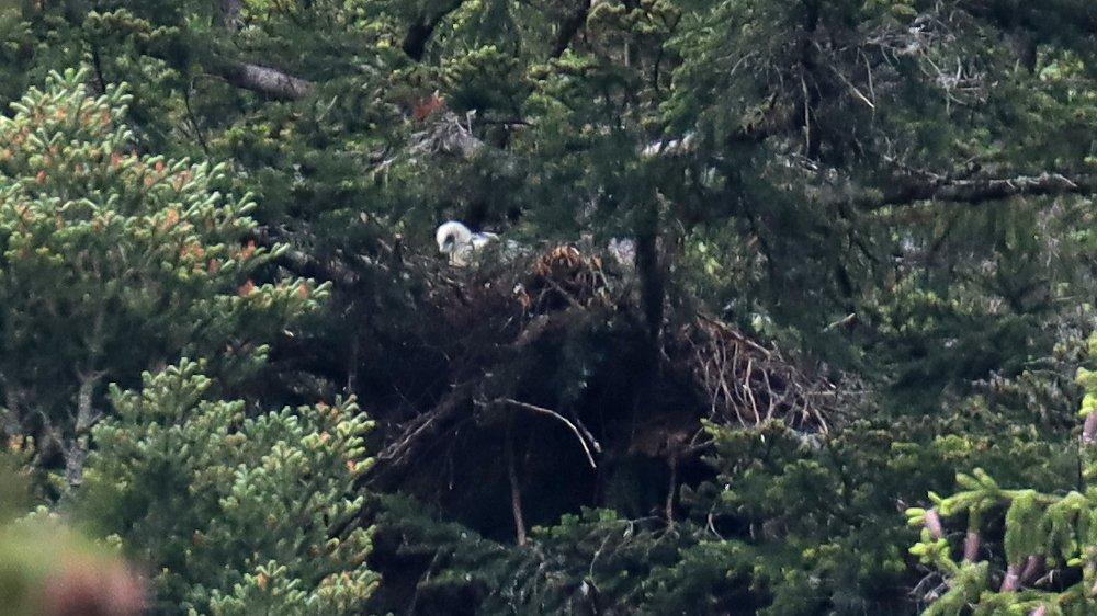L'aiglon, lors de l'une de ses discrètes apparitions sous l'objectif des biologistes qui suivent la nidification des rapaces vallonniers.