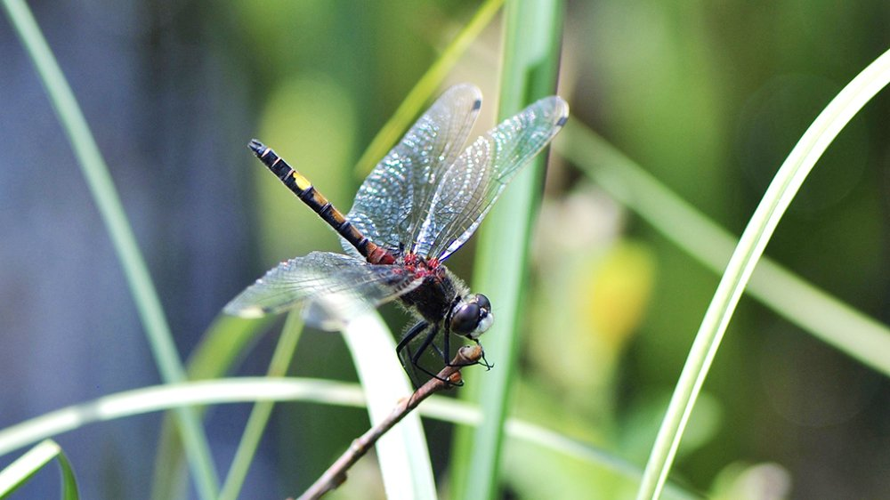 La Grande Cariçaie enregistre l'arrivée d'une nouvelle libellule