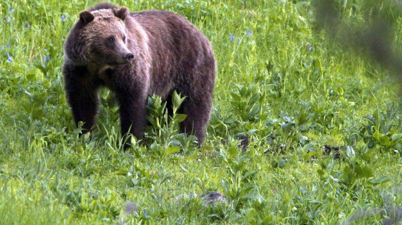 La région du Trentin est habitée par plusieurs dizaines d'ours, qui font parfois des intrusions dans les zones habitées ou s'attaquent à des animaux d'élevage. (illustration)