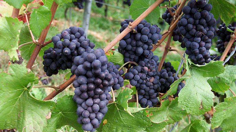 Pinot noir: les vins de garde neuchâtelois parmi les meilleurs