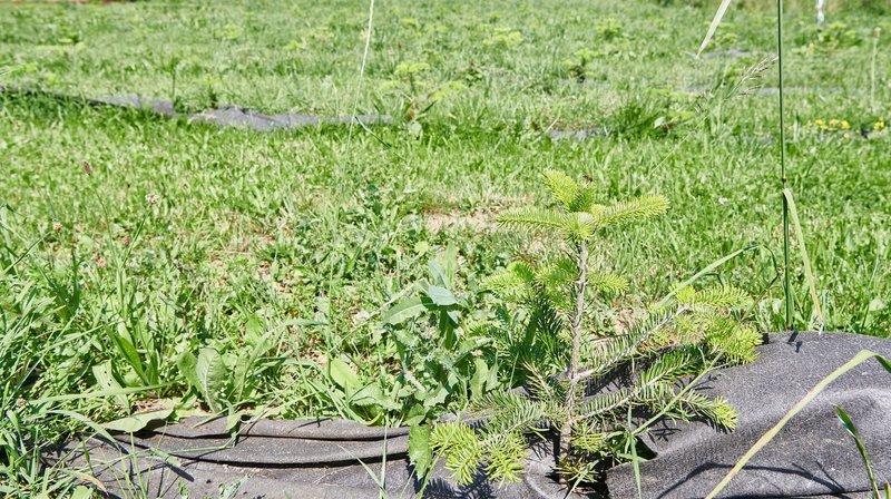 Cernier: 600 sapins plantés à Evologia pour favoriser la production locale