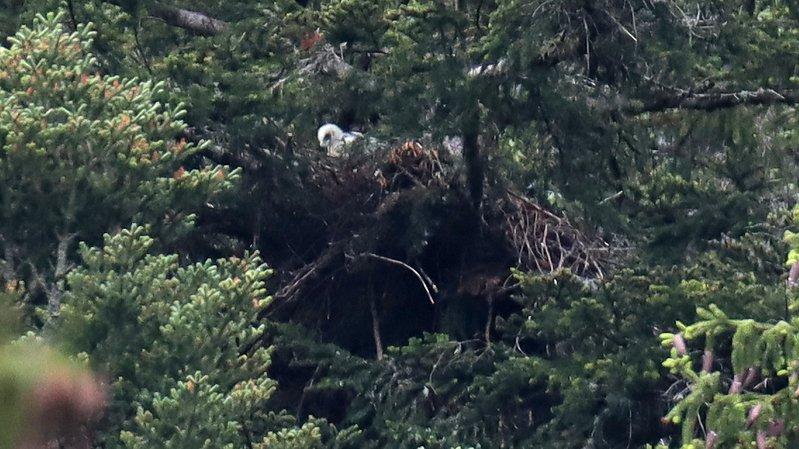 Un petit aigle est né au Val-de-Travers