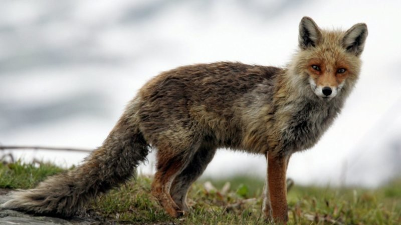 Les renards ont été signalés vers 3 heures du matin. (Illustration)