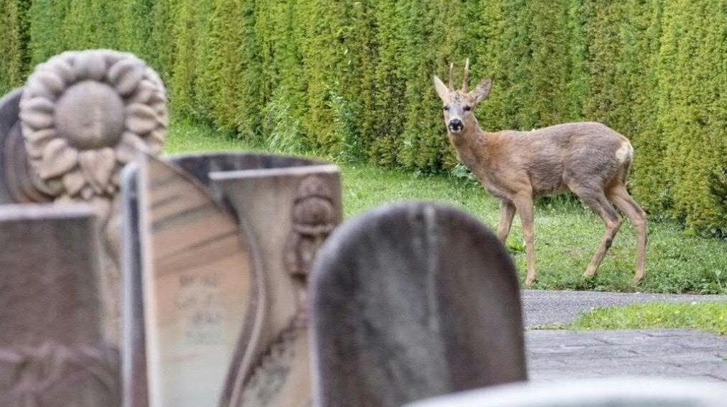Bâle: les chevreuils du cimetière du Hörnli ne seront pas abattus