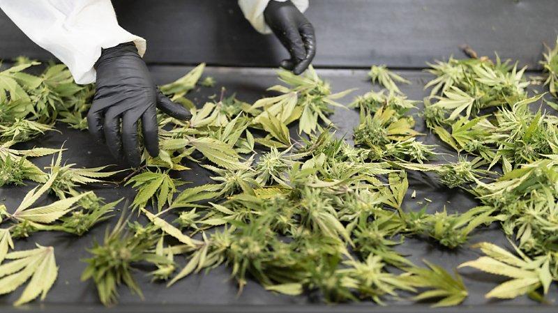 Santé: les médecins pourraient prescrire du cannabis sans autorisation