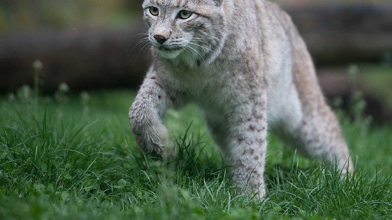 Oberland bernois: onze moutons tués probablement par un lynx
