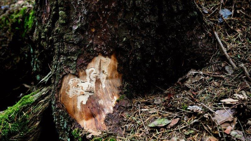 Berne: la sécheresse et les tempêtes ont mis les forêts sous pression