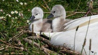 Lac de Neuchâtel: des bébés cygnes font craquer les passants