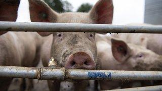 Chine: un nouveau virus de grippe porcine pourrait provoquer une future pandémie