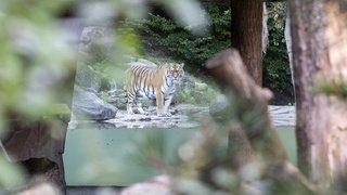 Zoo de Zurich: l'attaque d'un tigre contre une gardienne était un accident