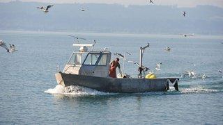 Les pêcheurs neuchâtelois seront soutenus et pourront tirer le grand cormoran