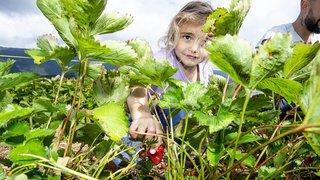 Les Neuchâtelois raffolent de cueillette de fraises