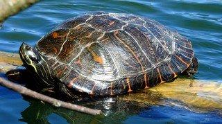 Une tortue de Floride repérée sur le Littoral neuchâtelois