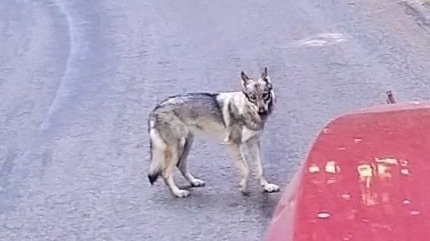 Une automobiliste a cru voir un loup passer devant ses roues cette semaine près de La Brévine, côté France.