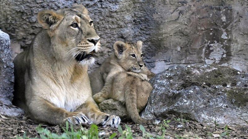 Le Sikypark s'apprête à recevoir une lionne (ici une congénère du zoo de Rome) et deux tigres en provenance d'Allemagne.