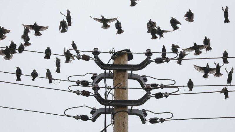 Environnement: la Confédération veut assainir les lignes électriques qui tuent trop d'oiseaux