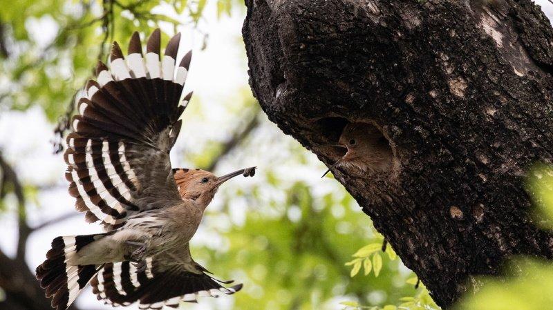 Sécheresse: des oiseaux tropicaux limitent les naissances pour mieux survivre